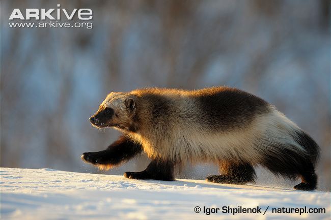 Wolverine-walking-in-snow